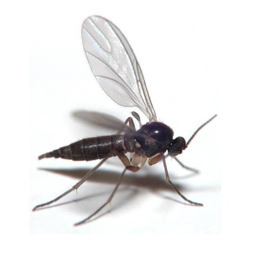 Fungus Gnat Control